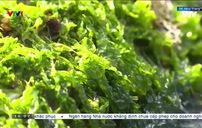 Thảm rêu xanh ấn tượng ở biển Nha Trang