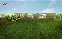 Chuyện nhà nông: Sâm Bố Chính hồi sinh trên vùng đất Quảng Bình