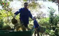 Chuyện nhà nông: Sản xuất và chế biến sầu riêng theo chuỗi khép kín
