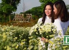 Nữ sinh Hà Nội khoe sắc bên cúc hoạ mi