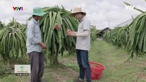 Nông nghiệp sạch: Thanh Long sản phẩm nông nghiệp tỉnh Trà Vinh