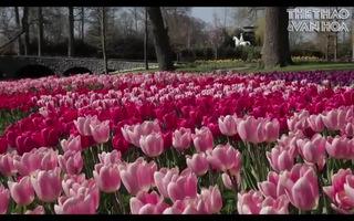 Thiên đường hoa Keukenhof năm nay mang vẻ đẹp thật khác