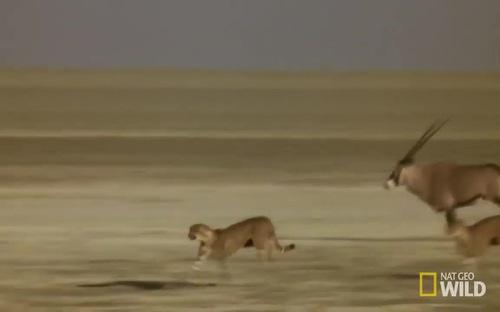 Linh dương sừng kiếm đuổi báo săn cứu con