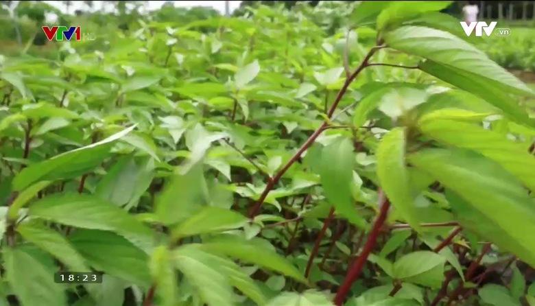 Nông nghiệp sạch: Rau sạch sản phẩm nông nghiệp tỉnh Quảng Bình
